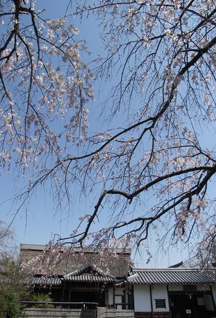 山寺桜07