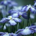 初夏の彩り:花菖蒲19
