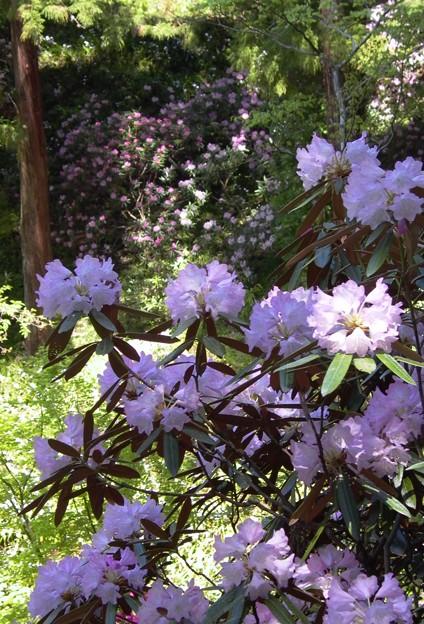 惜春:岡寺シャクナゲ12