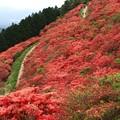 写真: 惜春:ツツジ大和葛城山22