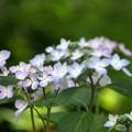 写真: ほんのり色ずく:紫陽花12