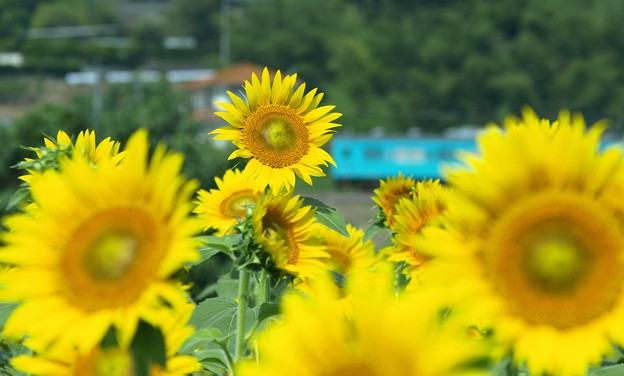 向日葵と列車02