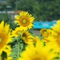 夏風景:向日葵と列車02