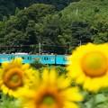 写真: ヒマワリ03