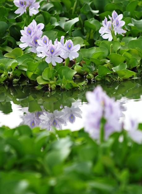 水辺に咲く:ホテイアオイ06