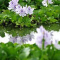 写真: 水辺に咲く:ホテイアオイ06
