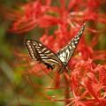 揚羽蝶と曼珠沙華