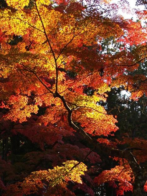 燃える秋風景:高野山紅葉11