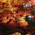 写真: 燃える秋風景:高野山紅葉11