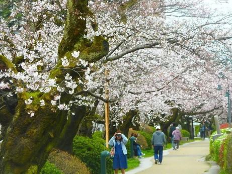 富山松川の桜並木