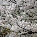 写真: 岸根公園~桜