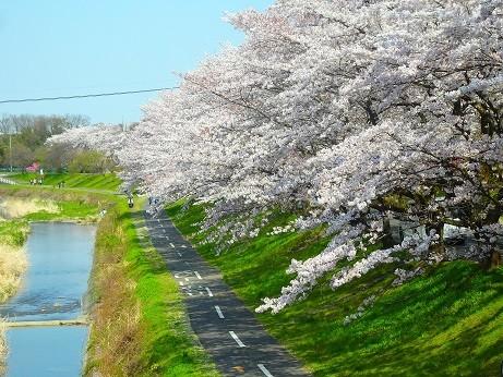 西東京の桜~浅川