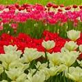 写真: 横浜公園~チューリップ