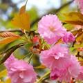 松任駅前~八重桜