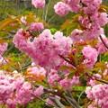 八重桜~鎌倉 鶴が丘八幡宮
