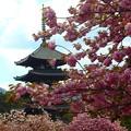 写真: 興福寺~八重桜jpg