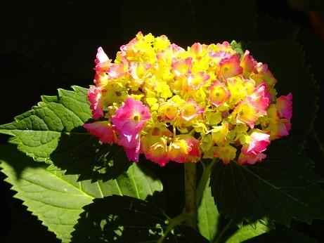 紫陽花~横浜岡野公園