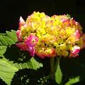 写真: 紫陽花~横浜岡野公園