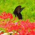 写真: 新宿中央公園~黒アゲハ