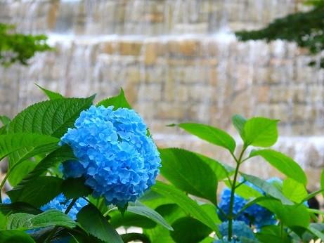 新宿中央公園~紫陽花