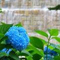写真: 新宿中央公園~紫陽花