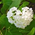 写真: 明月院~白いハート