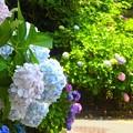 紫陽花~逗子市久木