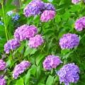 紫陽花~鎌倉 千手院