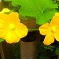 南瓜の花^^