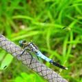 蜻蛉~芝離宮庭園