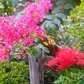 写真: 龍華寺~彼岸花と百日紅