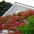 写真: 百日紅~北鎌倉
