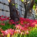 写真: ヒガンバナ~鎌倉