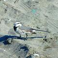 写真: セキレイ~材木座海岸