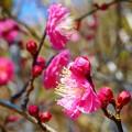 写真: 紅梅~逗子蘆花記念館
