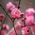写真: 紅梅~蘆花記念館