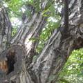 写真: 古木
