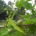写真: 四角豆の花