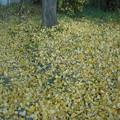 写真: イチョウの落葉