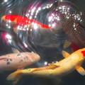 美しき鯉たち・・