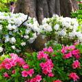 写真: 咲き誇る・・・