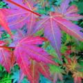 初夏の紅葉・・?