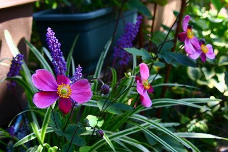 花壇の秋明菊とヤブラン 陽射しを浴びて!