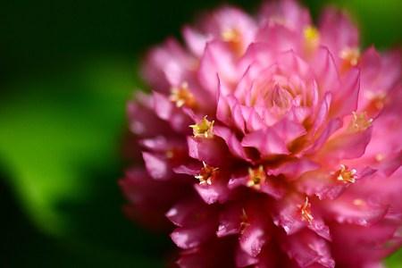ピンクの千日紅