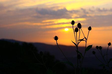 夕日を見つめて! 野の花の家族寄り添って