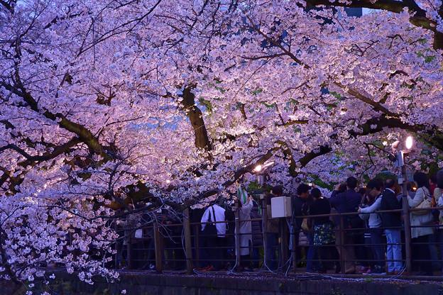 夜桜・千鳥ヶ淵