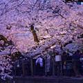 写真: 夜桜・千鳥ヶ淵