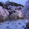写真: 夜桜・千鳥ヶ淵1