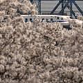 Photos: 桜に埋もれて