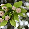写真: 兼六園菊桜 (2)